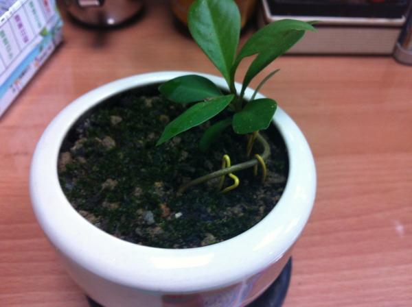 尝试著小榕树幼苗培养